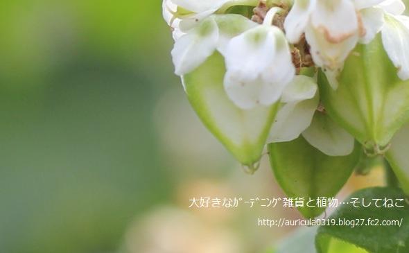 ソバの花アップ