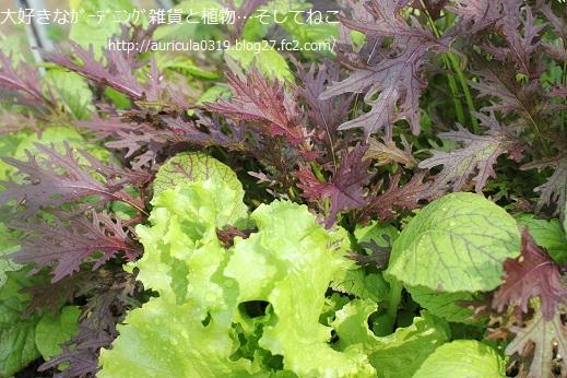 高菜と銅葉カラシナ(10月28日)