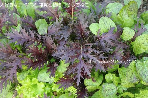 銅葉カラシナと高菜とリーフレタス