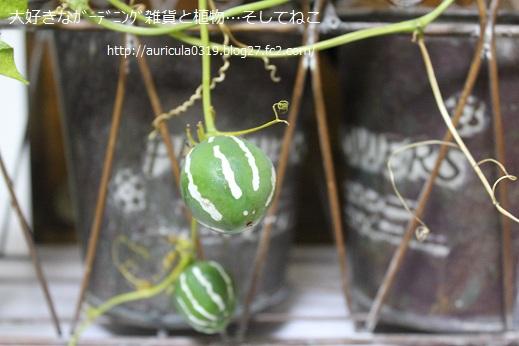 沖縄スズメウリ収穫(アップ)
