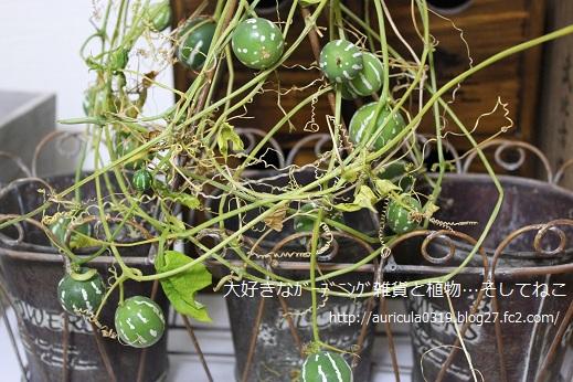 沖縄スズメウリ収穫