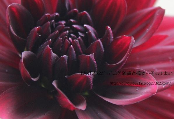 晩秋の黒蝶(アップ)