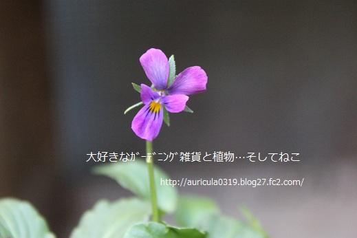 極小ビオラ・紫系(アップ)