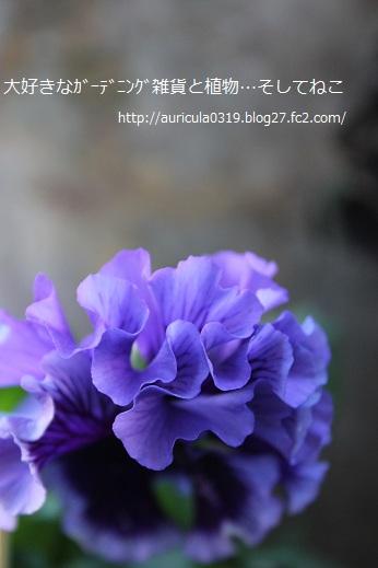 愛の花パンジー・フリル咲き(ネズミ額庭)