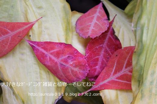 ホスタとヘンリーヅタの紅葉