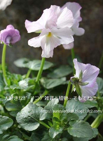 春桜色(全体)