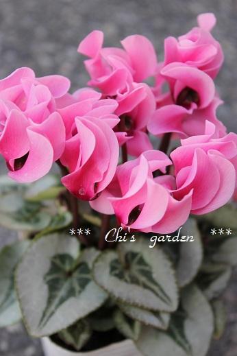 ガーデンシクラメン・ピンク