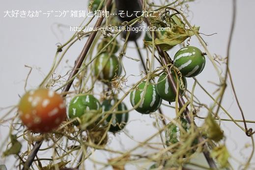 沖縄スズメウリ(冬)