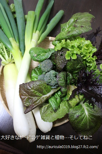 冬野菜の収穫(タテ)