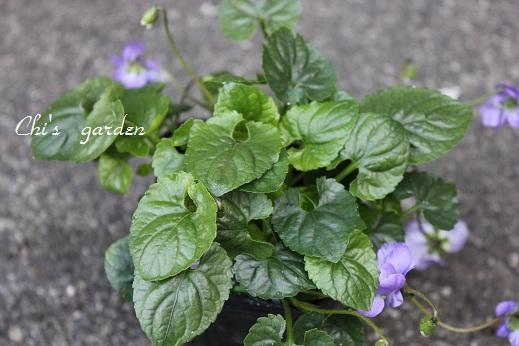 ニオイスミレ・紫