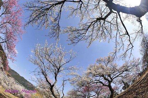 光降る梅の郷