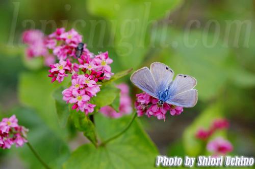 ウラナミシジミ(裏波小灰蝶、Lampides boeticus