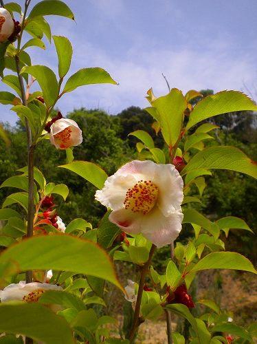 s-シャラノキ花