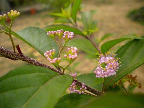 s-ムラサキシキブ花