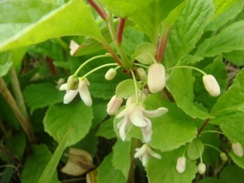チョウセンゴミシの花