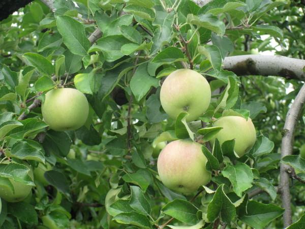 まだ青いリンゴ