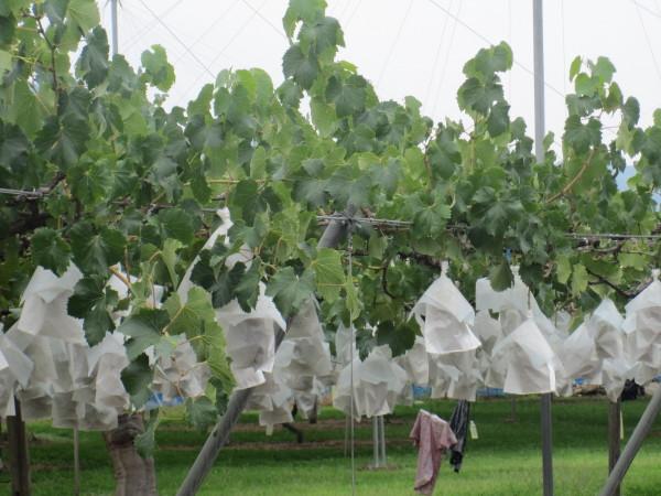 袋かけされたブドウ