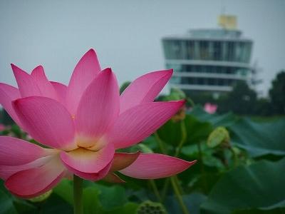 ビュー福島潟と蓮の花