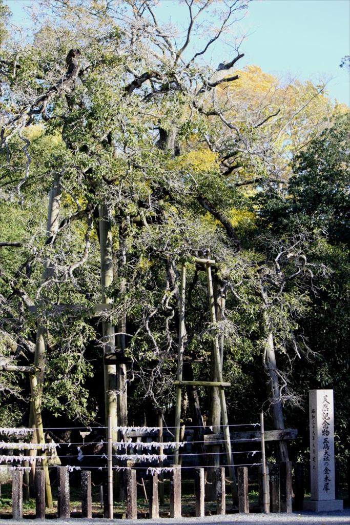 国の天然記念物の指定を受けた金木犀_2