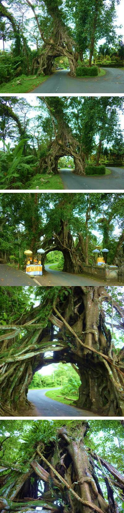 パワースポット・ガジュマルの木