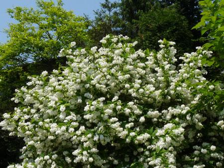 ウツギ (卯の花)