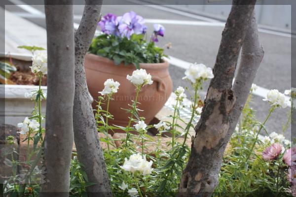 宿根ネメシア 白 庭の花