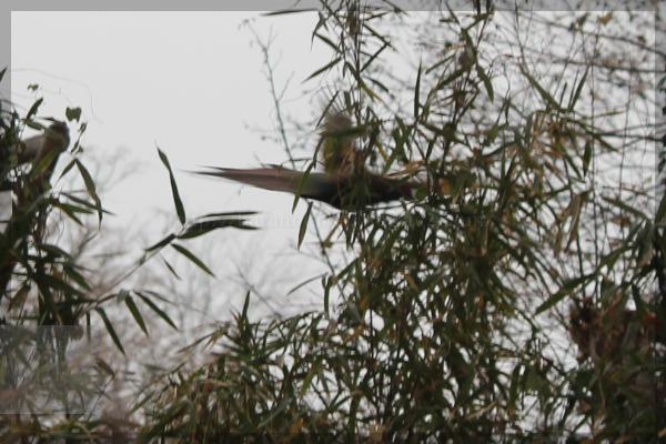 野鳥 キジ きじ 20131218