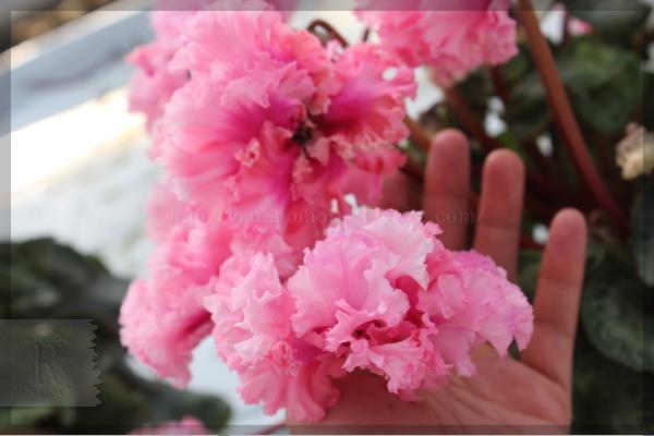 日本一のシクラメン さかもと園芸 20131223