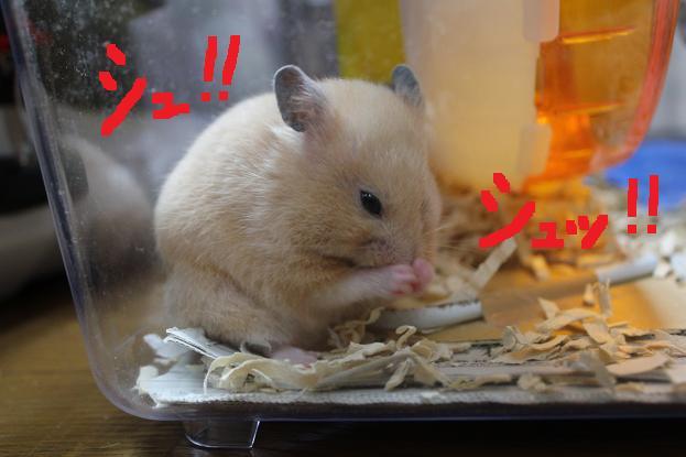 じゃっきーちぇーんでつ!