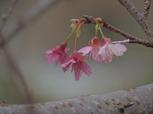 緋寒桜 (1)s-