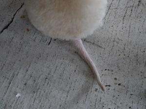 もんちゃんの尻尾