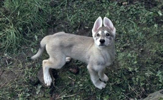 216direwolf-puppy