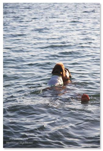 トイプードル,犬,泳ぐ,水泳