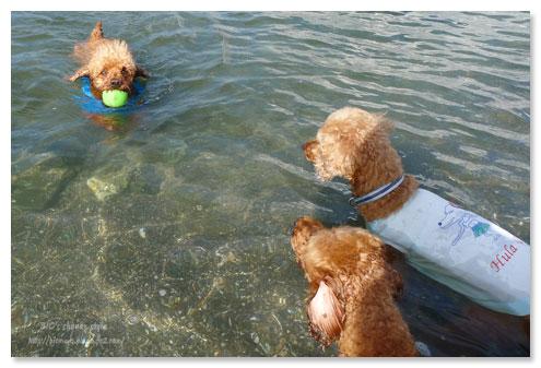 スイミング,トイプードル,泳ぐ