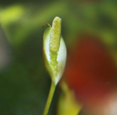 ナナの花2