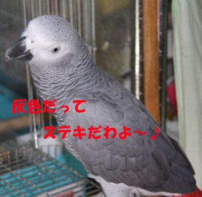 カンナ灰色