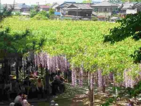 津島・天王川公園の藤