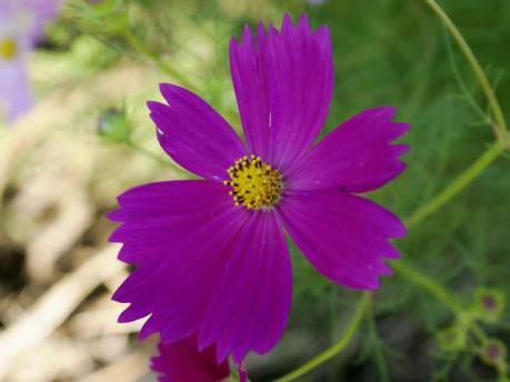 コスモス紫