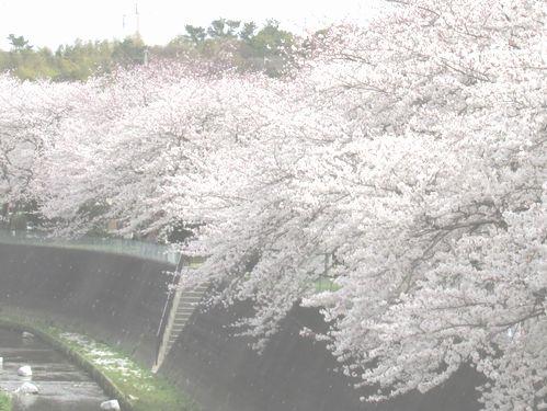 桜 段子川  2 2013_3_28