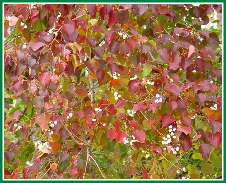 2013 11 25 46 ナンキンハゼ 紅葉