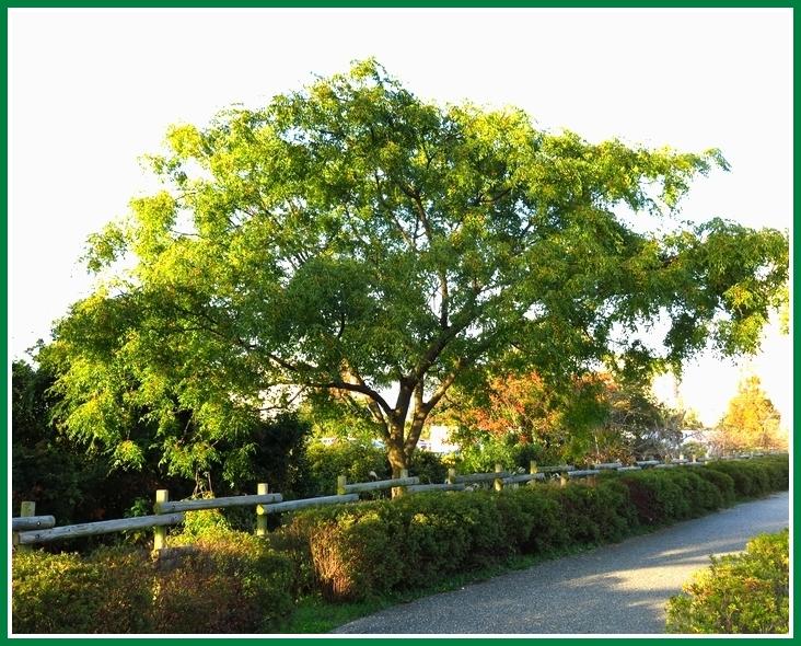 センダン 2014 11 27 085a 樹全体