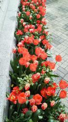 オランダ大使館庭園・チューリップ