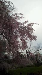 増上寺 枝垂れ桜