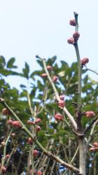 立春:我が家の梅