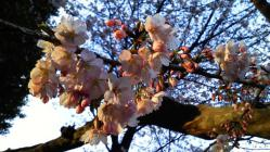 護国寺の桜(文京区音羽)