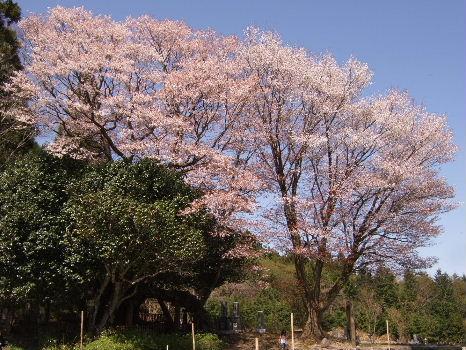 黒岩の大桜