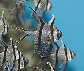 240px-Banggai_cardinal_fish.jpg