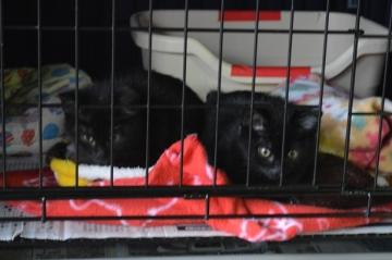 生後約3カ月の仔猫、オスとメス