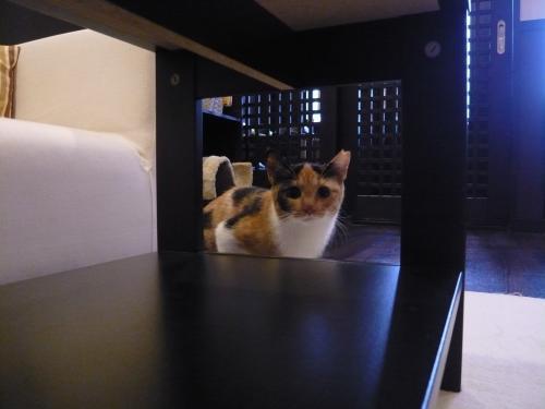 譲渡会参加猫【かなえちゃん】