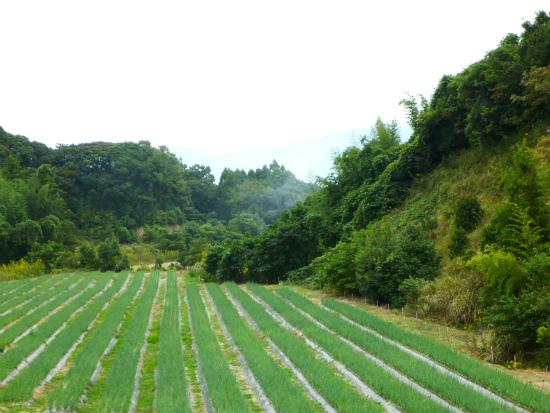 2012.10.16ネギ畑